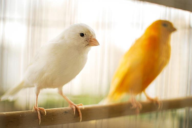 Kanarie vogeldiefstal