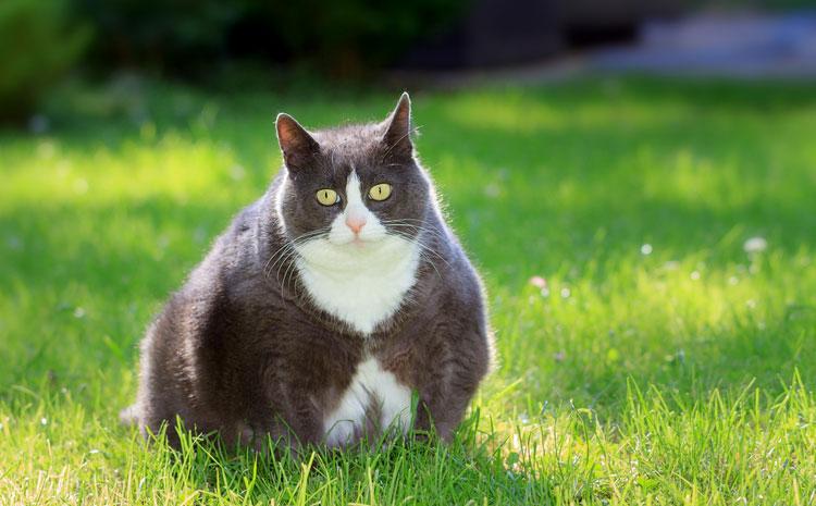 Obesitas bij huisdieren
