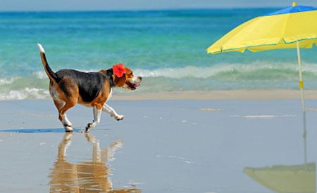 Beagle op het strand