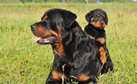 Vanaf 1 juni 2014 geldt er voor rashondenpups een DNA-afstammingsbewijs