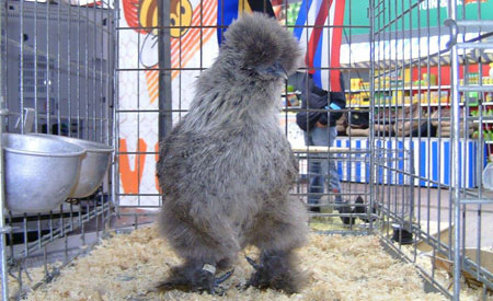 Zijdehoen tentoongesteld tijdens de Dierenfair in Zierikzee