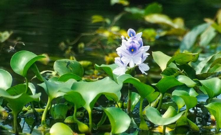 Waterhyacint
