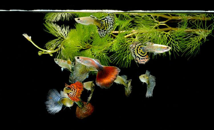 Aquarium met guppies