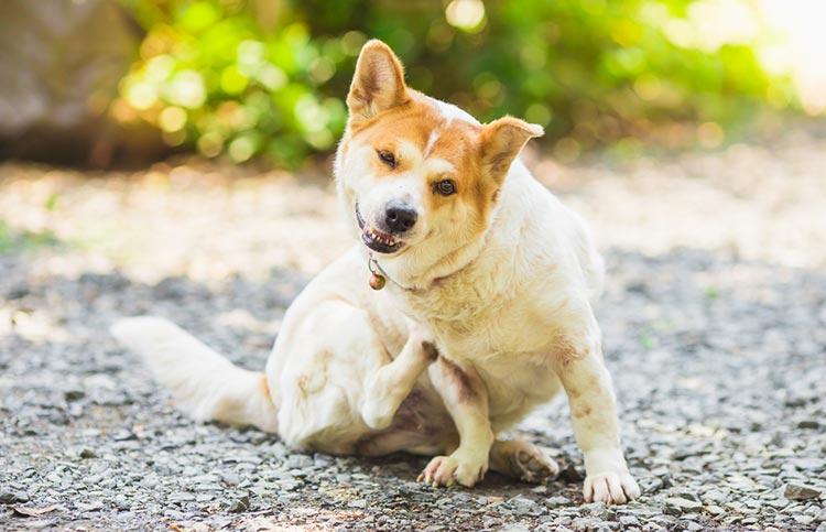 Krabbende hond - allergie