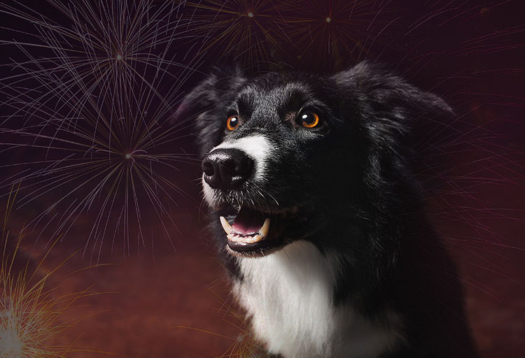Border Collie in vuurwerk
