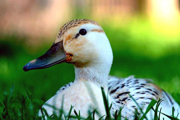 Vogelgriep eenden