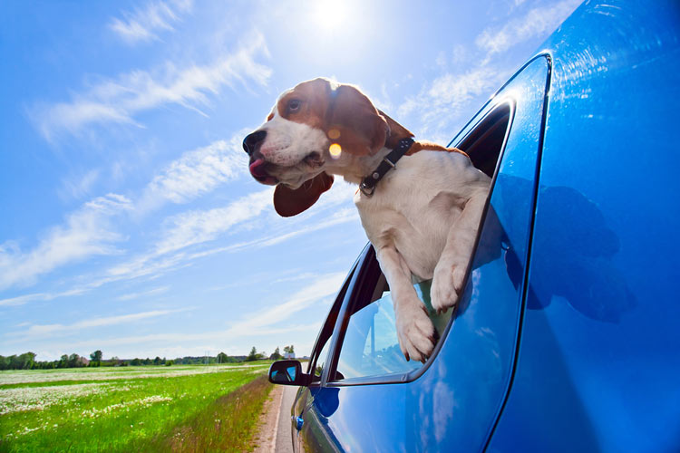 Hond in de auto van de zaak
