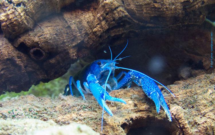 Blauwe rivierkreeft