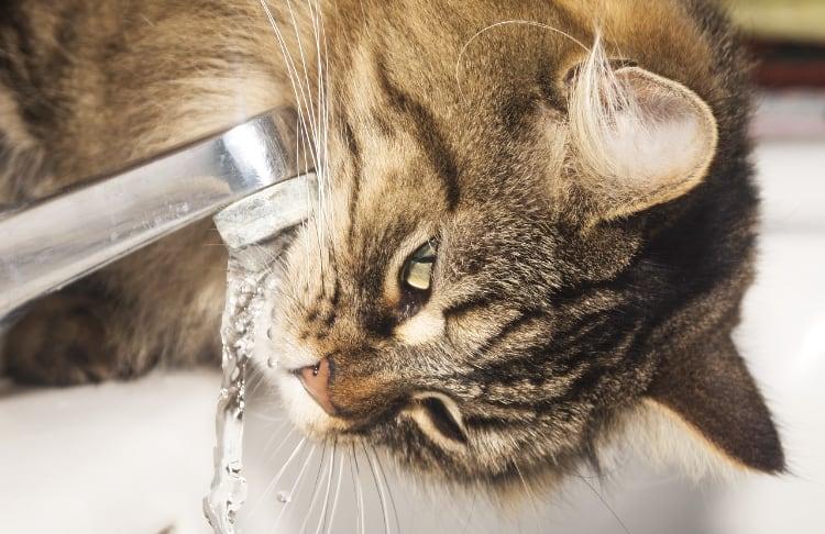 Kat drinkt graag uit de kraan