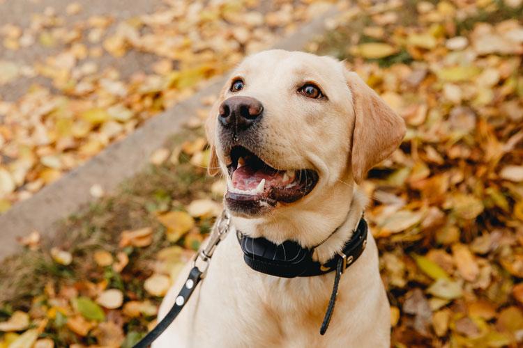 Stroombanden bij honden verboden per 1 juli 2020