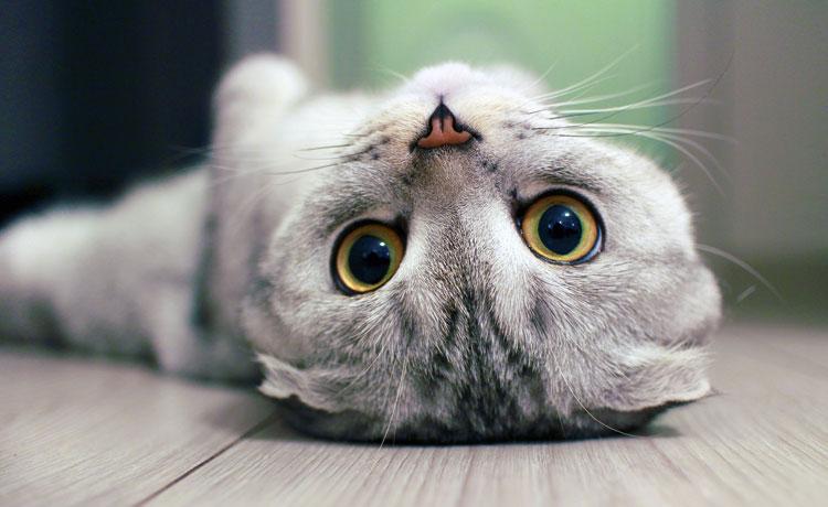 Kat op de kop